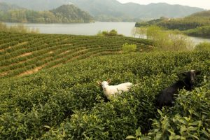 Alila Anji - Journeys - White Tea Plantation 02 - low res